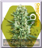 Zambeza Crazy Cookies Female 10 Cannabis Seeds